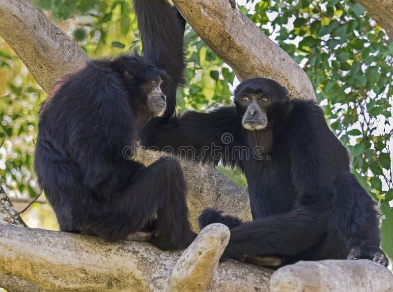 Gibboni di Siamang che comunicano fotografia stock