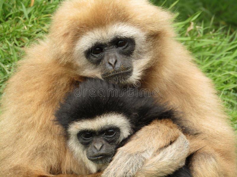 Gibboni passati bianchi abbracciare fotografie stock libere da diritti