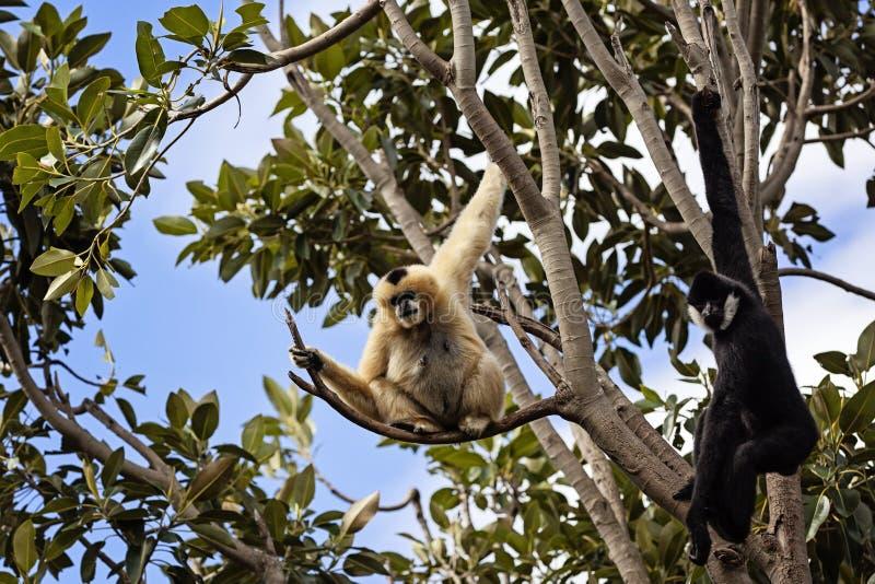 Gibboni in un albero fotografia stock libera da diritti