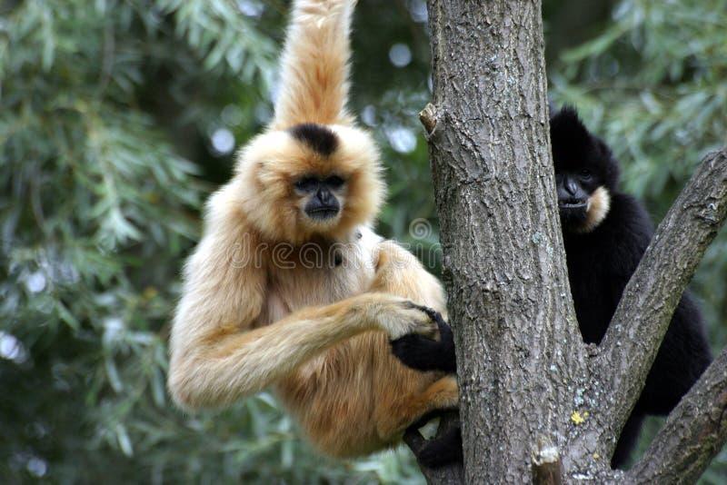 Gibbons Fotografia de Stock