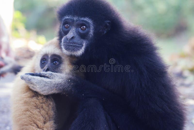 gibbons photographie stock libre de droits