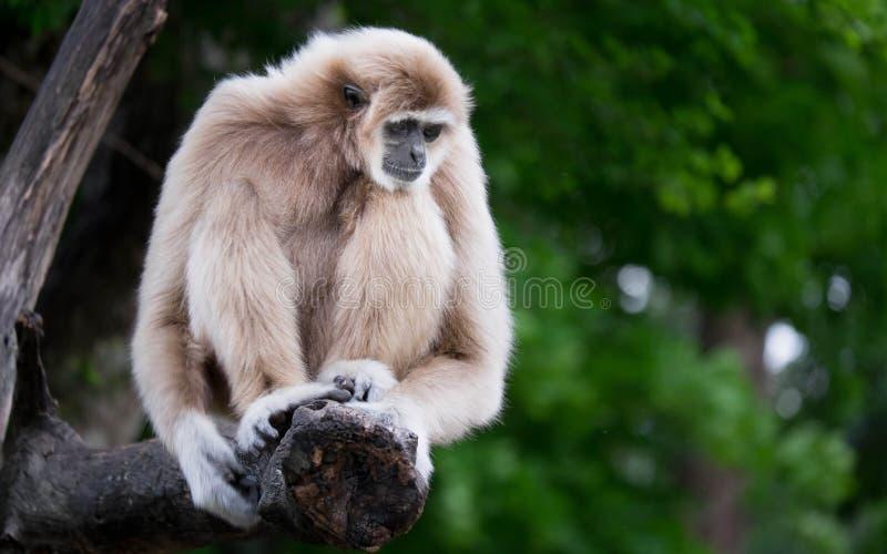 gibbons fotos de stock royalty free