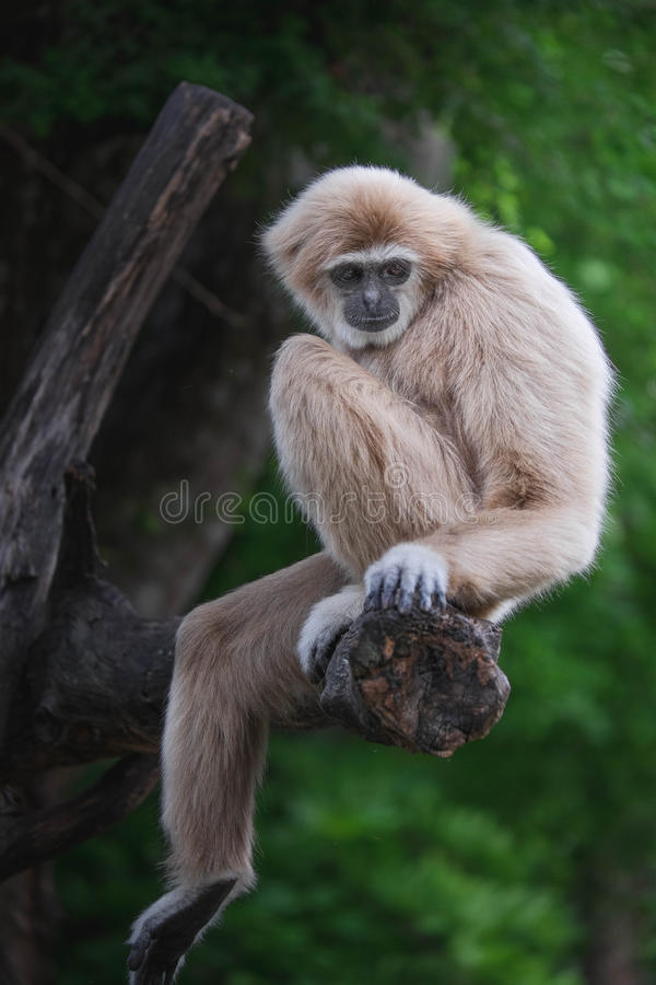 gibbons imagem de stock