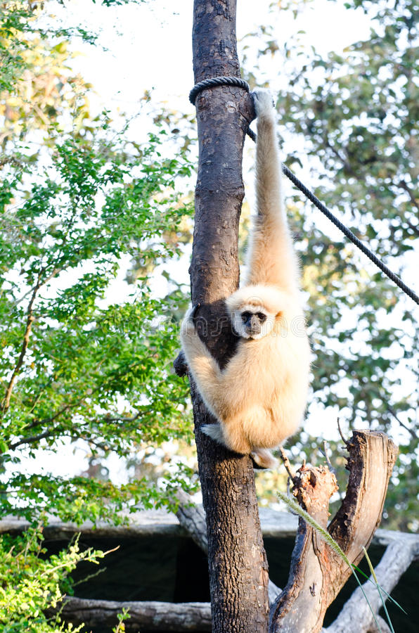 Gibbons crown. Gibbons are hung on the tree royalty free stock images