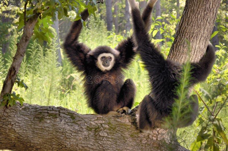 Gibbons entregue branco fotos de stock royalty free
