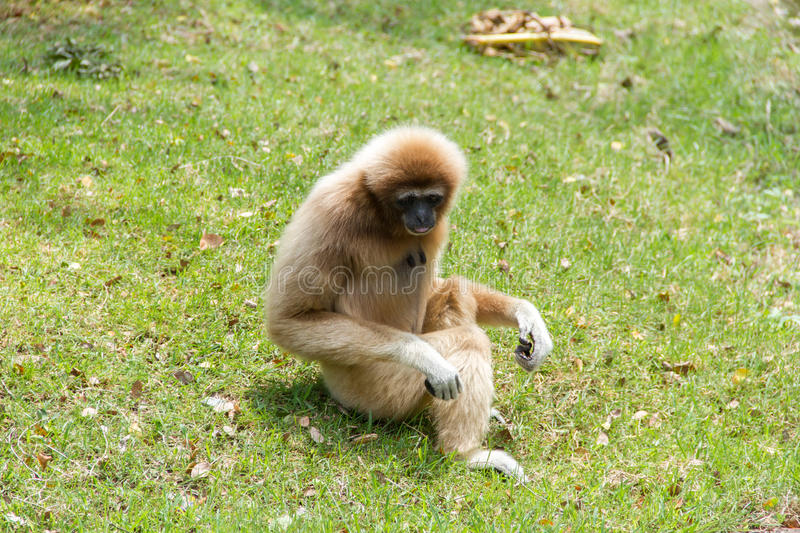 Gibbons. On green the grass stock photography