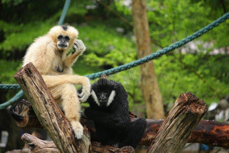 Gibbons s'asseyent sur le bois de construction photographie stock