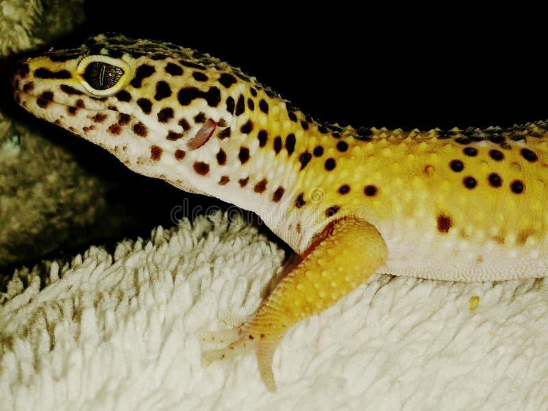 Gibbs de gekko royalty-vrije stock afbeelding