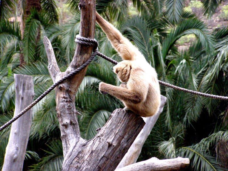 Gibon lar in captive enclosure stock photos