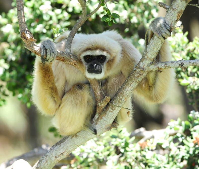 gibon wręczający lar małpy Thailand biel zdjęcie royalty free