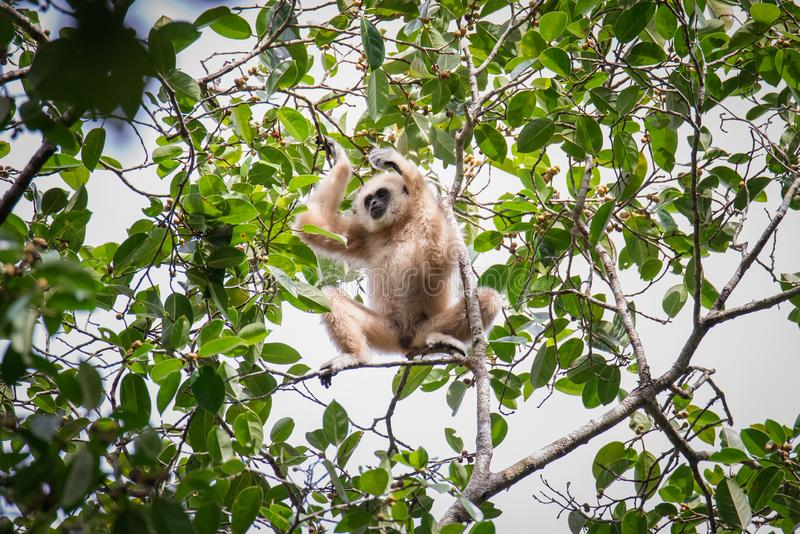 Gibony dla jedzenia na drzewach w tropikalnych lasach, Tajlandia zdjęcia royalty free