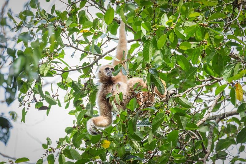 Gibony dla jedzenia na drzewach w tropikalnych lasach, Tajlandia zdjęcie stock