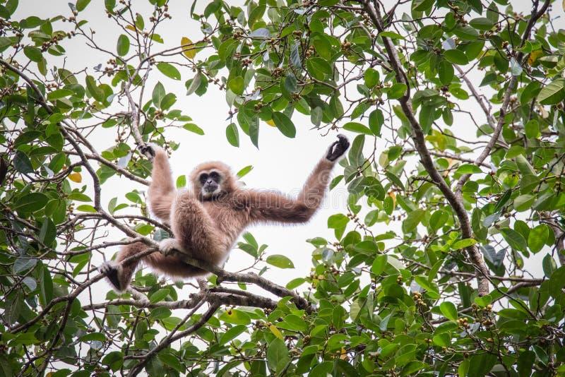 Gibony dla jedzenia na drzewach w tropikalnych lasach, Tajlandia obraz stock
