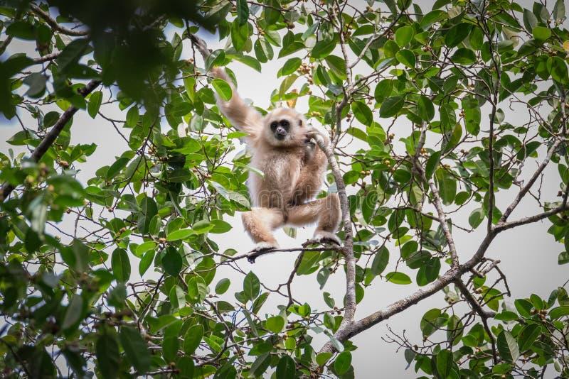 Gibony dla jedzenia na drzewach w tropikalnych lasach, Tajlandia zdjęcia stock