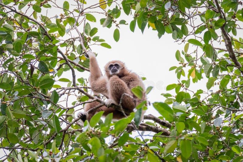 Gibony dla jedzenia na drzewach w tropikalnych lasach, Tajlandia zdjęcie royalty free