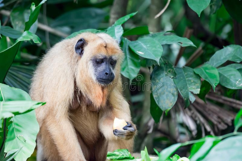 Gibony małpują Hylobatidae lub małpują podczas gdy niosący opiekę i brać fotografia royalty free