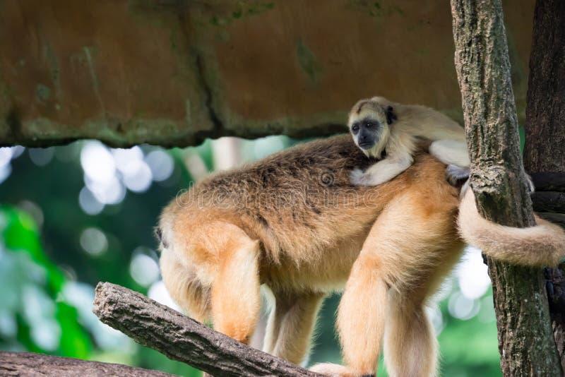 Gibony małpują Hylobatidae lub małpują podczas gdy niosący opiekę i brać obraz royalty free