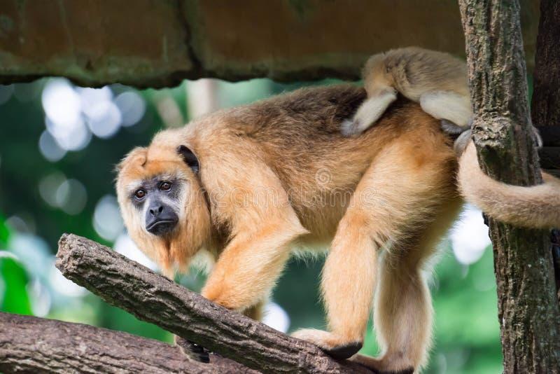Gibony małpują Hylobatidae lub małpują podczas gdy niosący opiekę i brać obrazy royalty free