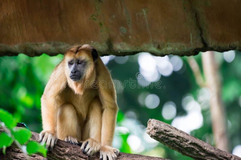 Gibony małpują Hylobatidae lub małpują podczas gdy niosący opiekę i brać obraz stock