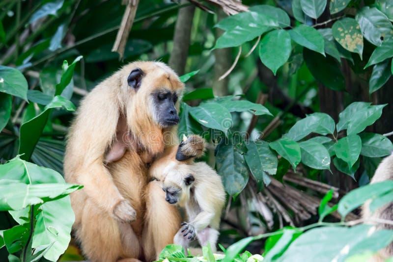 Gibony małpują Hylobatidae lub małpują podczas gdy niosący opiekę i brać zdjęcia royalty free