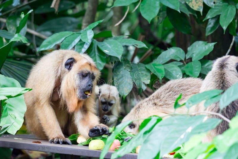 Gibony małpują Hylobatidae lub małpują podczas gdy niosący opiekę i brać zdjęcie royalty free