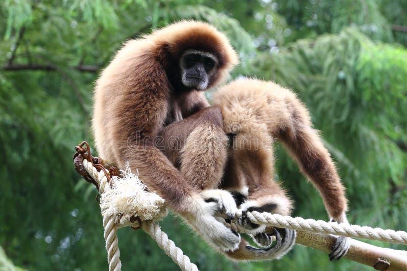 Gibony przy zoo zdjęcie royalty free