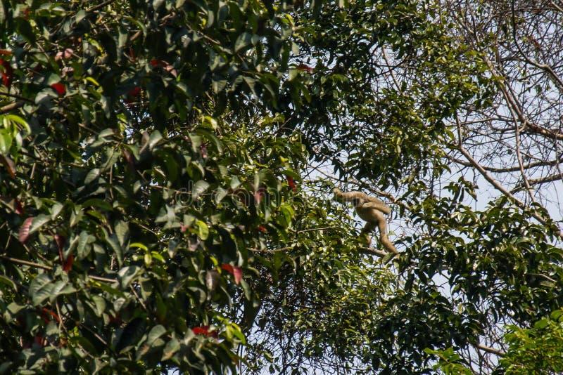 Gibony w lesie obrazy royalty free