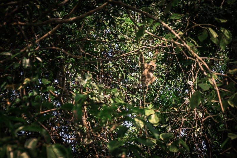 Gibony w lesie zdjęcie stock