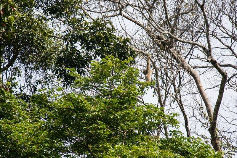 Gibony w lesie fotografia royalty free