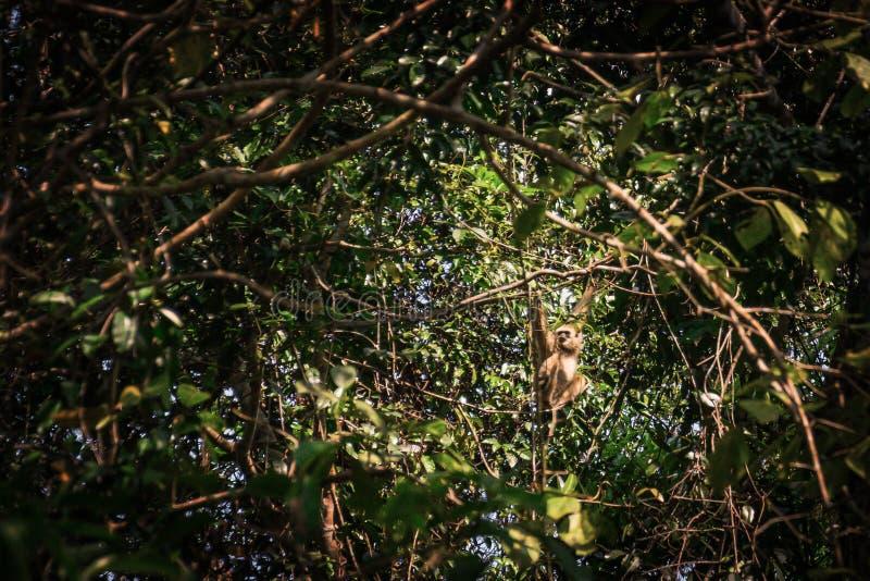 Gibony w lesie obraz stock