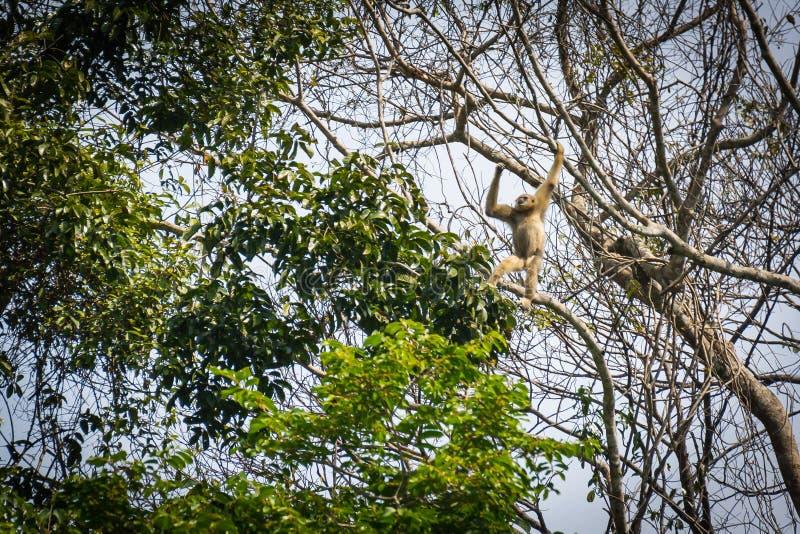 Gibony w lesie zdjęcia stock