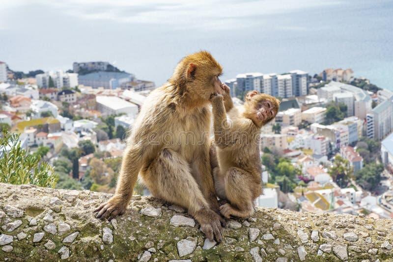 Gibraltar-Affen lizenzfreie stockfotografie