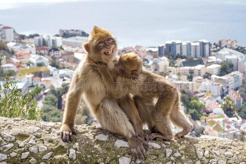 Gibraltar-Affen stockfotografie