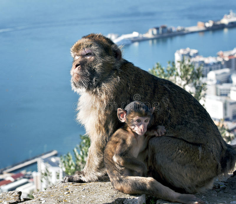 Download Gibraltar Barbary Apes stock photo. Image of gibraltar - 22353134