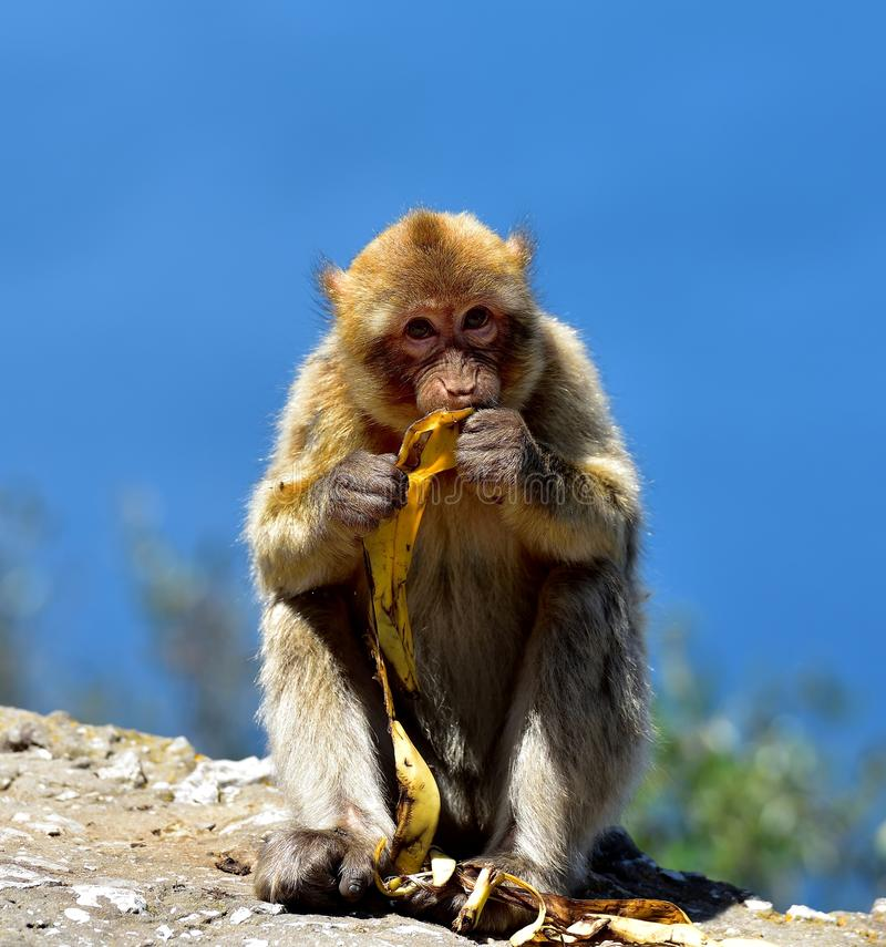 Gibraltar Barbary macaque. Eating a banana stock images