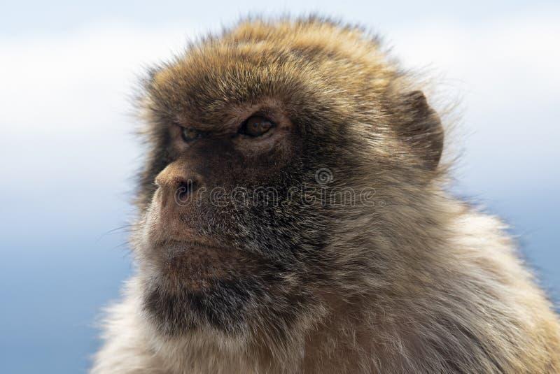 Gibraltar Barbery makak obrazy royalty free
