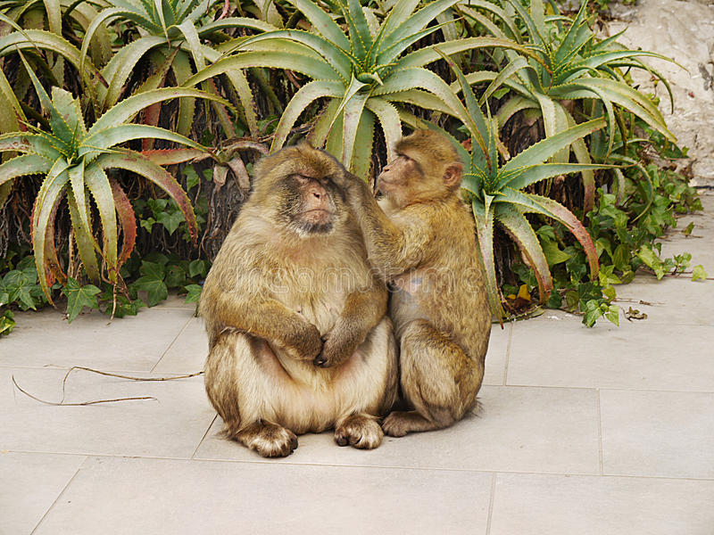 Gibraltar,Macaques, Monkeys stock photos