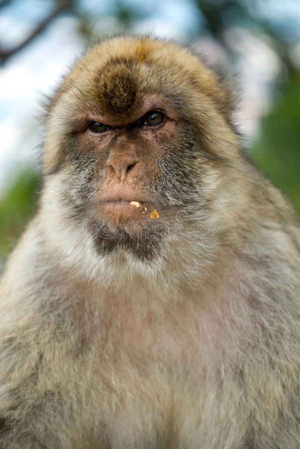 Gibraltar monkey stock images