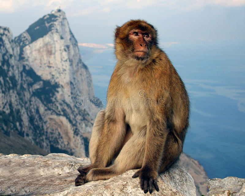 Gibraltar monkey at top of the Rock stock image