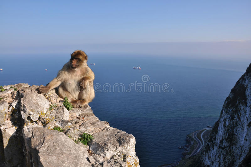 Gibraltar monkeys royalty free stock photo