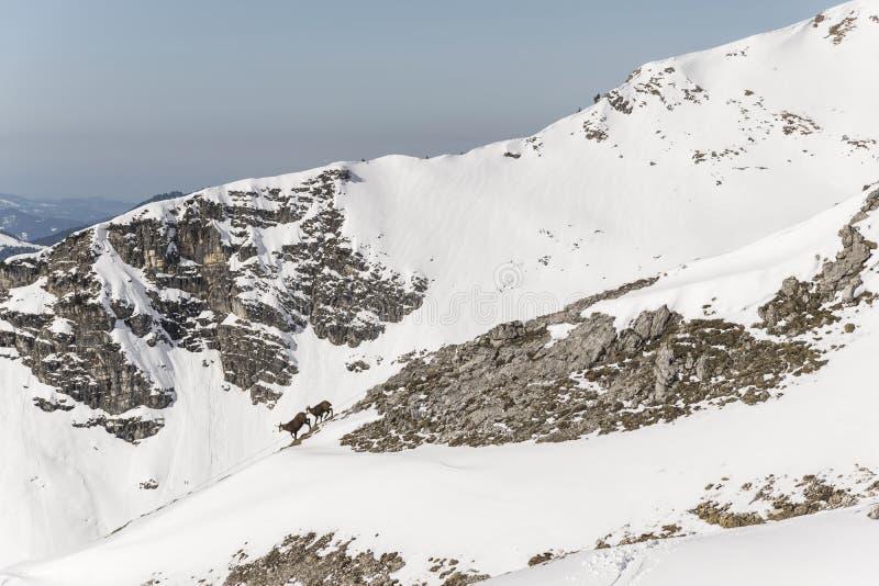 Giemza przez Alps obraz stock