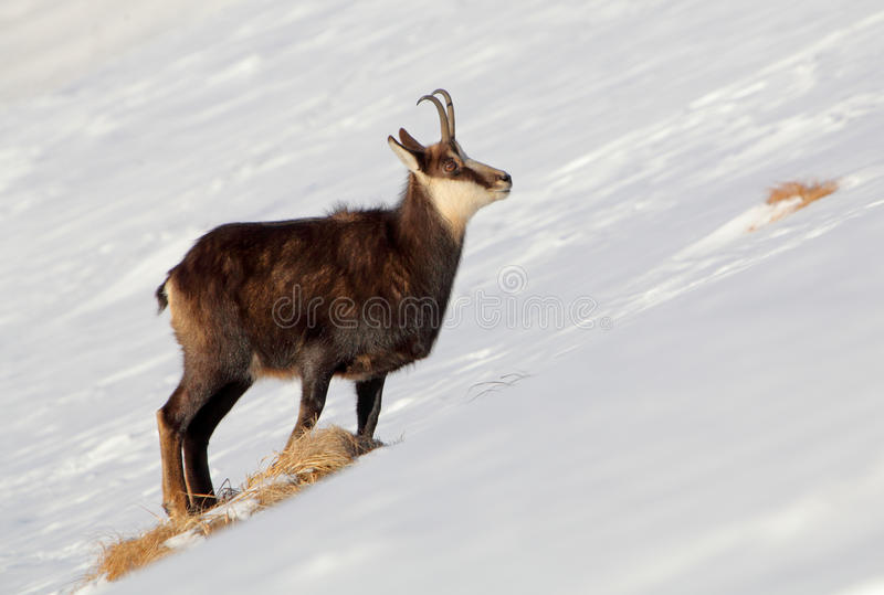 Giemza - rupicapra, Tatras zdjęcia stock