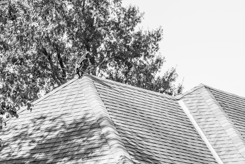 Gier of Buizerd boven op Ingezeten Huis in Zwart-wit royalty-vrije stock fotografie