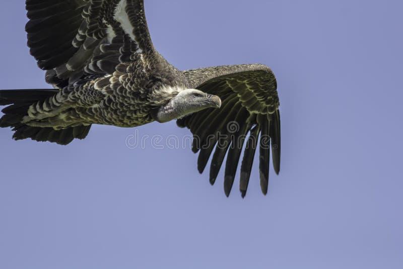 Gier het vliegen Sluit omhoog van een gier van Ruppells griffon tijdens de vlucht royalty-vrije stock afbeelding