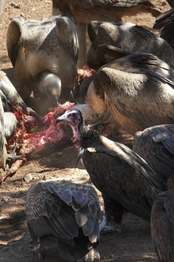 Download Gieren bij een doden stock afbeelding. Afbeelding bestaande uit gier - 10777255