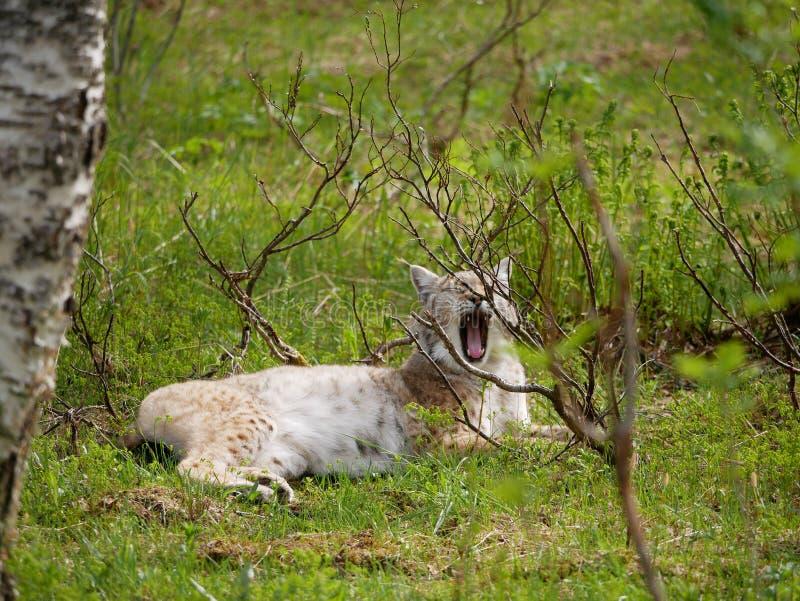 Gierende lynx in het wildernisbos in het noorden stock fotografie