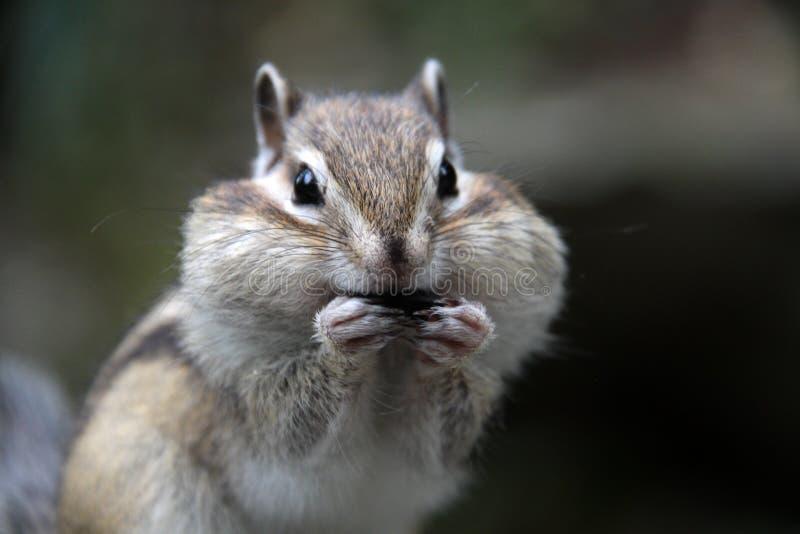 Gieriges Streifenhörnchen lizenzfreie stockbilder