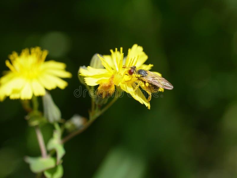 Giez na kwiacie zdjęcia royalty free