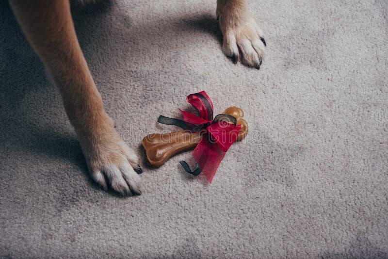 Gift bone between dog paws stock image