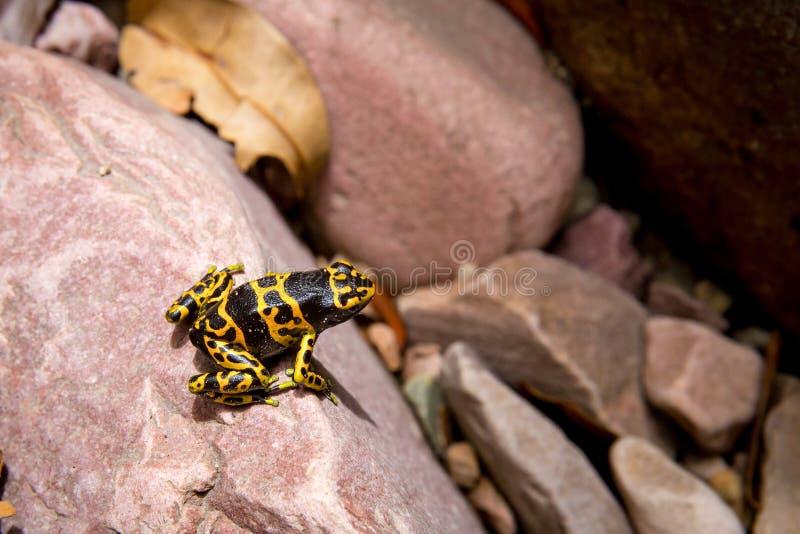 Gift-Pfeilgold und schwarzer Frosch lizenzfreie stockfotografie
